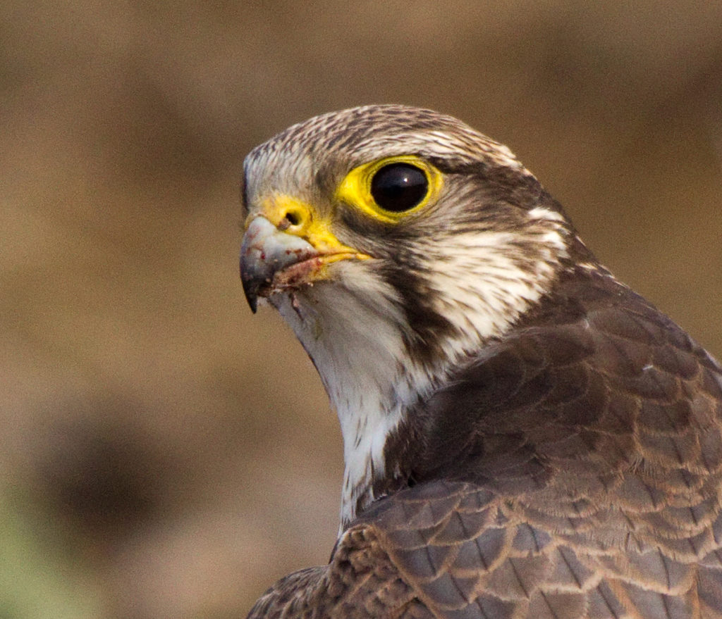 Falco cherrug; Saker Falcon; Sakerfalke; Slowakei; Würgfalke; beute; birds; capture; falconiformes; greifvögel; raptors; vögel