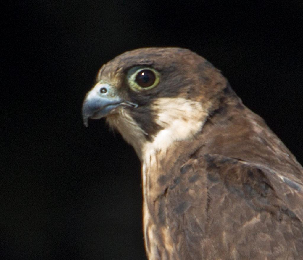 Eleonora`s Falcon; Eleonorenfalke; Falco eleonorae; ad.; birds; falconiformes; greifvögel; marokko; pröhl; raptors; vögel