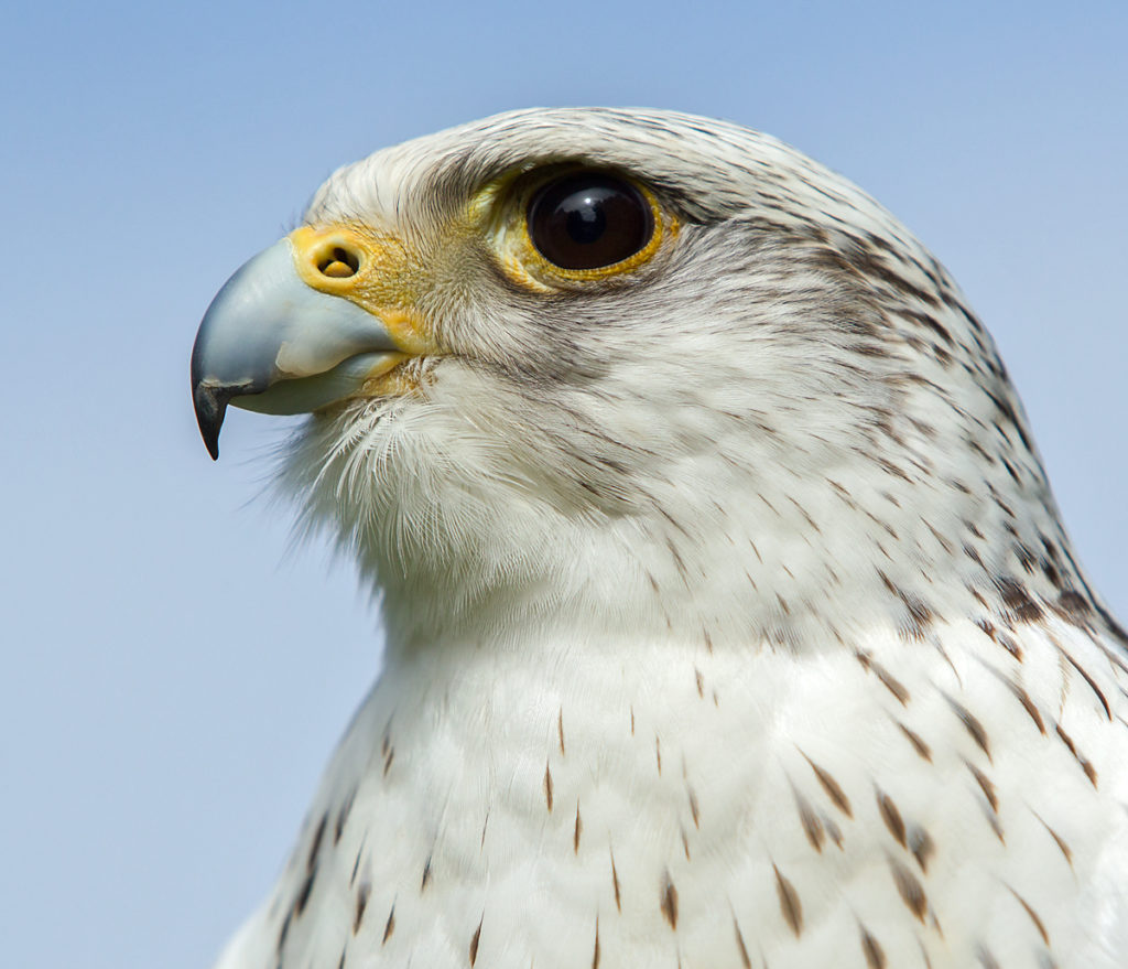 Falco rusticolus; Gerfalke; Gyrfalcon; Kretschet; birds; falconiformes; greifvögel; pröhl; raptors; vögel