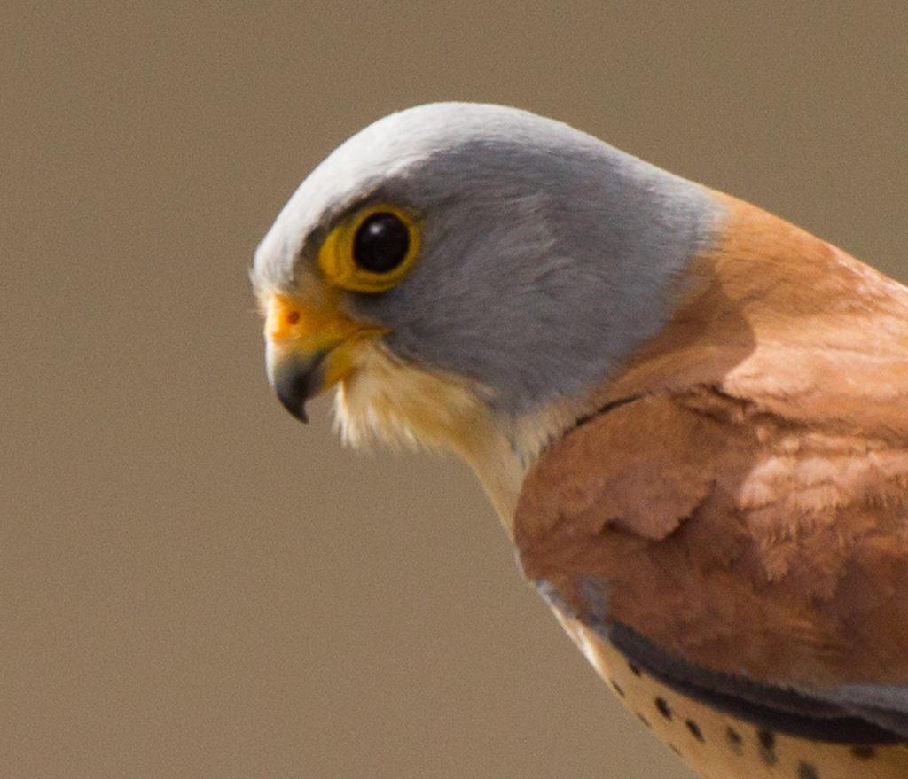 Falco naumanni; Lesser Kestrel; Rötelfalke; birds; falconiformes; greifvögel; raptors; vögel