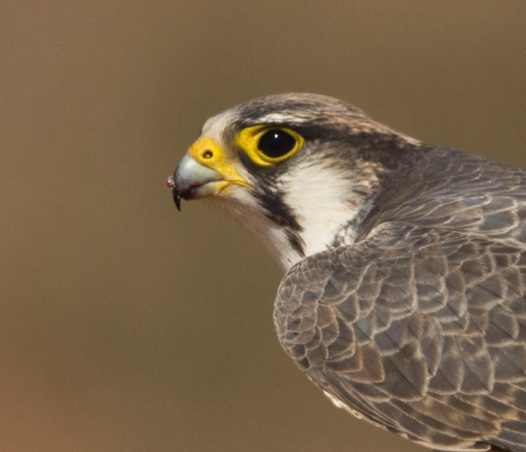 Falco biarmicus; Lanner; Lannerfalke; birds; falconiformes; greifvögel; raptors; vögel