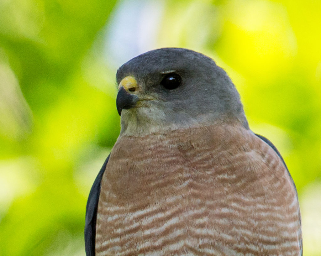 Accipiter brevipes; Armenia; Armenien; Kurzfangsperber; Levant Sparrowhawk; Short-toed Sparrowhawk; birds; falconiformes; greifvögel; male; männchen; pröhl; raptors; vögel