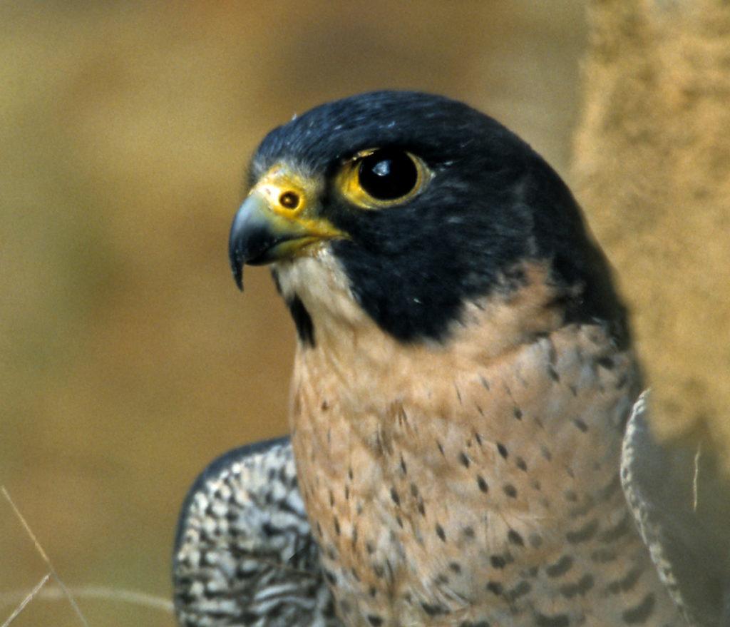 Falco peregrinus; Wanderfalke; greifvögel