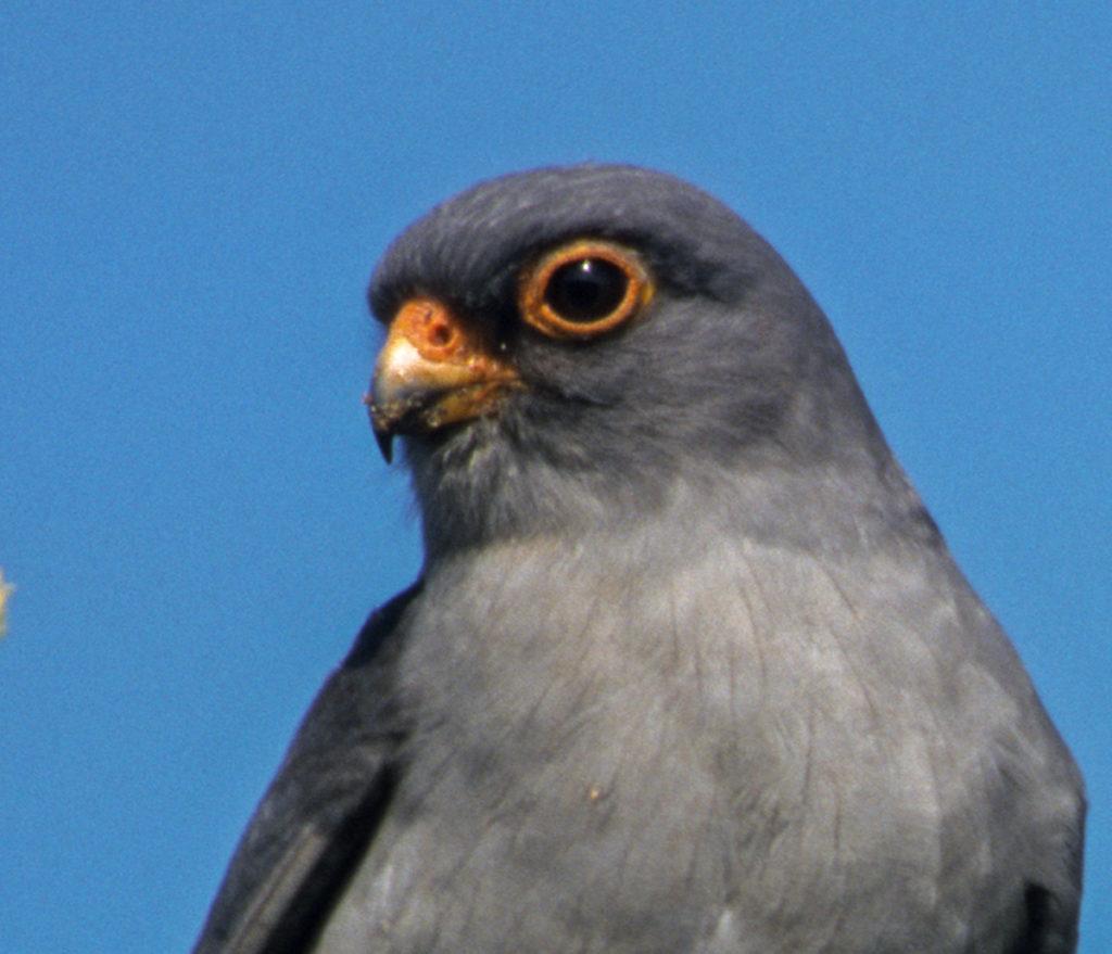 Falco vespertinus; Rotfußfalke; greifvögel; männchen