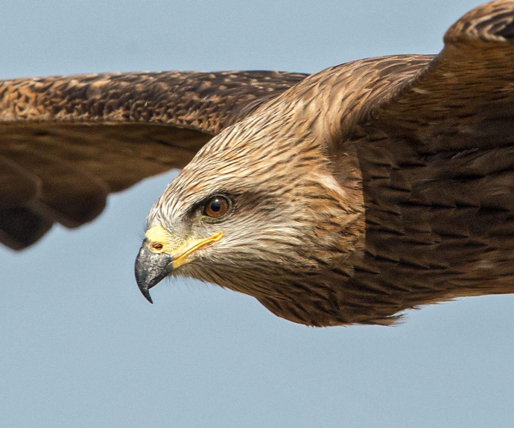 Black Kite; Milan; Milvus migrans; Schwarzer Milan; Schwarzmilan; birds; falconiformes; flight; flug; greifvögel; pröhl; raptors; vögel