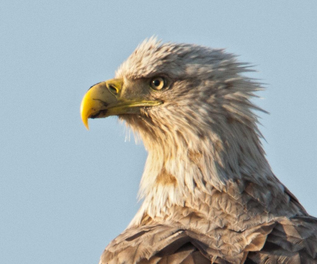 Accipitriformes; Haliaeetus albicilla; Kasachstan; Seeadler; White-tailed Eagle; adler; birds; eagle; falconiformes; greifvögel; pröhl; raptors; vögel