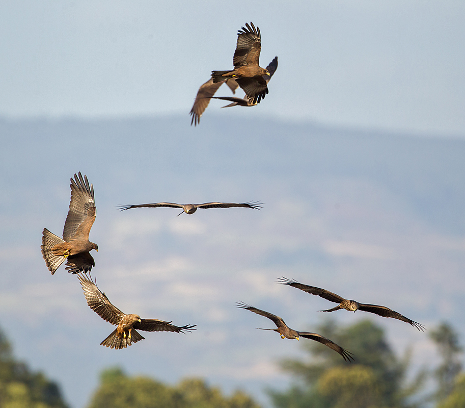 Abessinien; Aethiopien; Ethiopia; Milvus aegyptius parasitus; Milvus migrans parasitus; Schmarotzermilan; Yellow-billed kite; birds; falconiformes; greifvögel; pröhl; raptors; vögel; Äthiopien