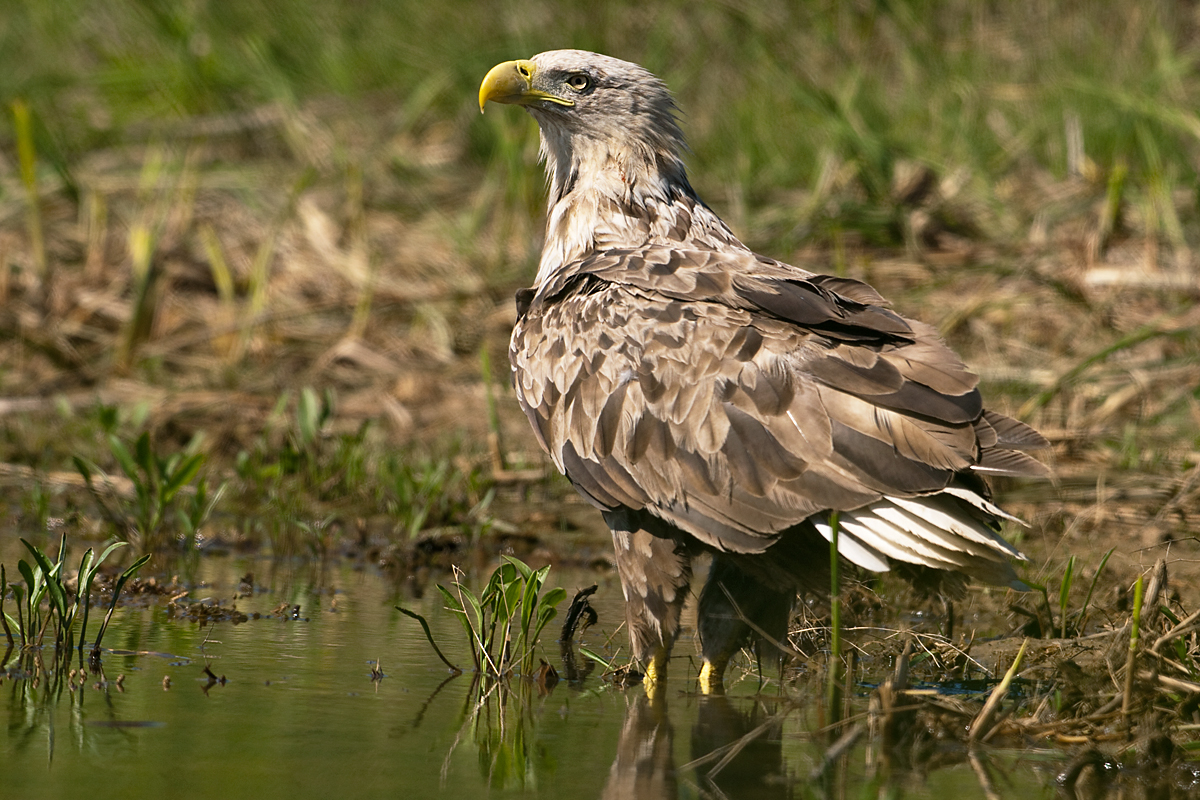 Accipitriformes; Haliaeetus albicilla; Kasachstan; Seeadler; White-tailed Eagle; adler; birds; eagle; falconiformes; greifvögel; pröhl; raptors; tränke; vögel; watering place