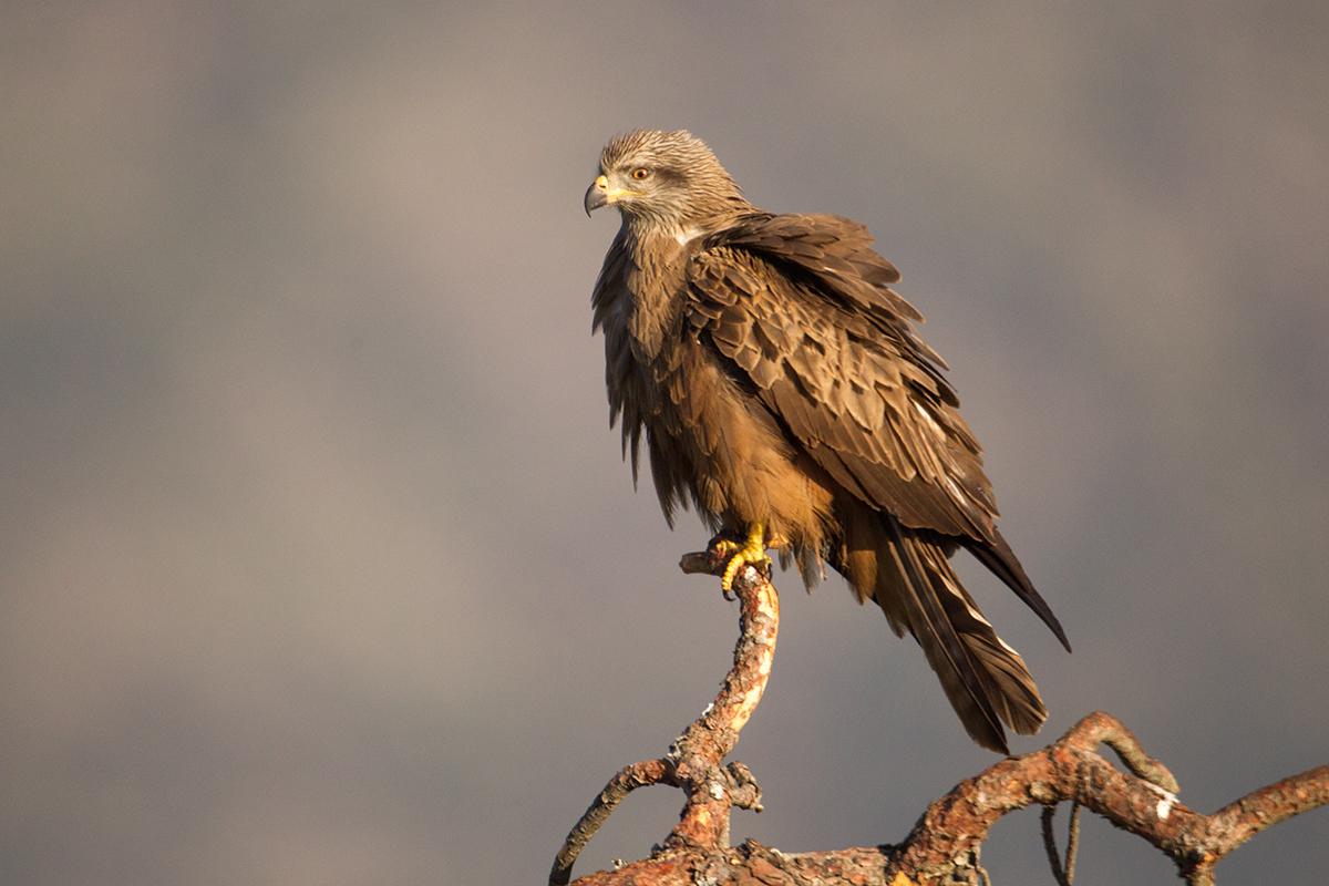 Avila; Black Kite; Milan; Milvus migrans; Schwarzer Milan; Schwarzmilan; birds; falconiformes; greifvögel; pröhl; raptors; vögel