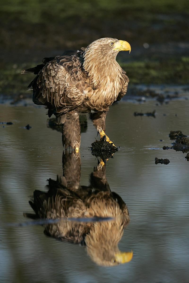 Accipitriformes; Haliaeetus albicilla; Seeadler; White-tailed Eagle; adler; birds; eagle; falconiformes; greifvögel; pröhl; raptors; vögel