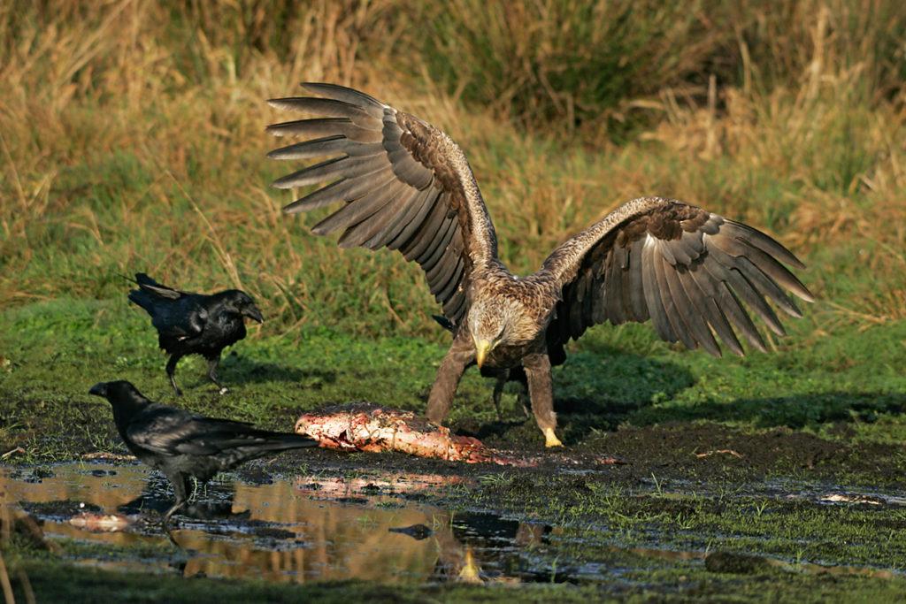 Corvus corax; Haliaeetus albicilla; Kolkrabe; Seeadler; beute; greifvögel; pröhl