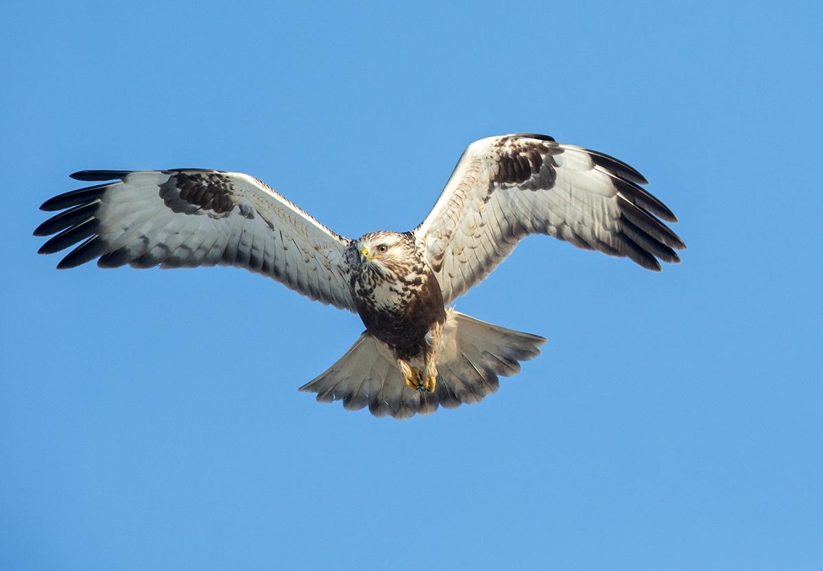 Buteo lagopus; Rauhfußbussard; Rough-legged Buzzard; birds; falconiformes; flight; flug; greifvögel; juv.; juvenil; pröhl; raptors; vögel
