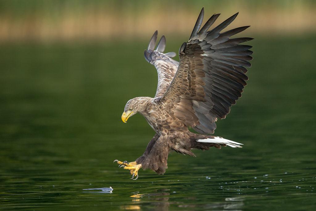 Haliaeetus albicilla; Seeadler; White-tailed Eagle; adler; beute; birds; capture; eagle; falconiformes; flight; flug; greifvögel; hunting; jagd; pröhl; raptors; vögel