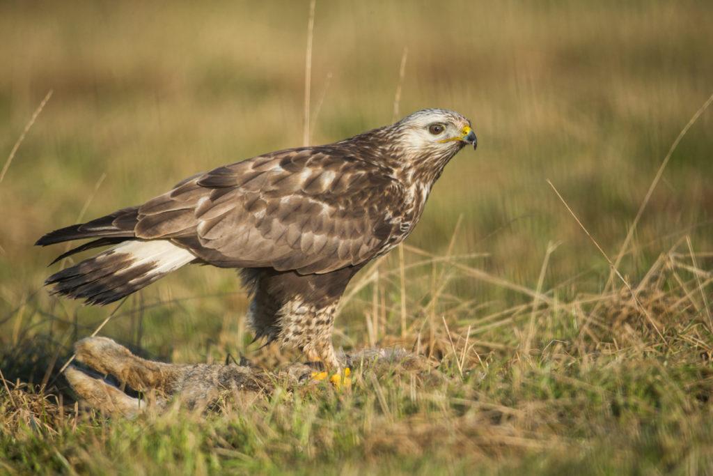 Accipitriformes; Buteo lagopus; Rauhfußbussard; Rough-legged Buzzard; birds; greifvöge