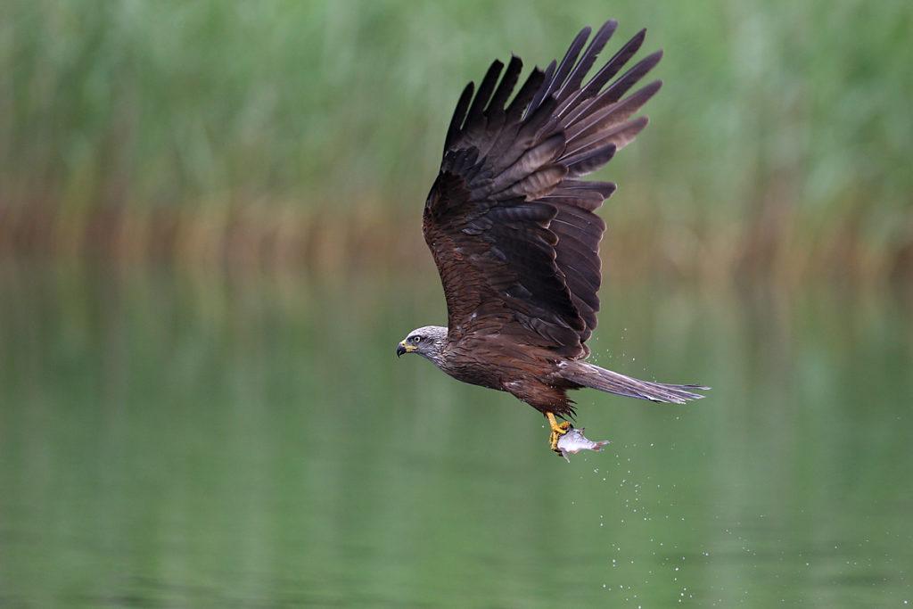 Milvus migrans; Schwarzer Milan; Schwarzmilan; beute; flug; greifvögel ; jagd; pröhl; vögel