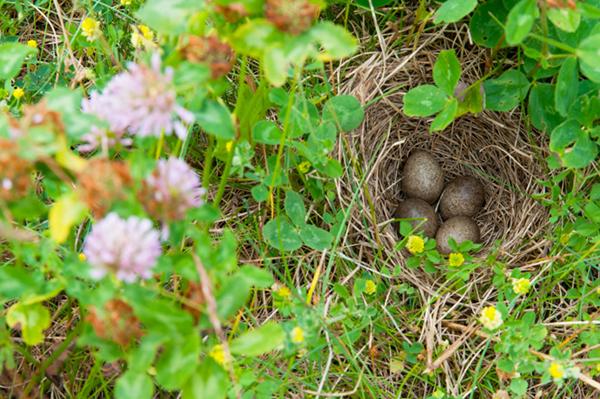 Alauda arvensis; Feldlerche; Skylark, nest, gelege, Eier