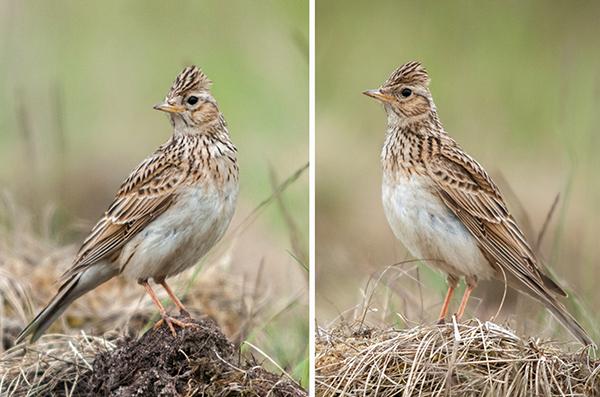 Alauda arvensis; Feldlerche; Skylark; birds; flight; flug; passeri; singvögel; songbirds; vögel