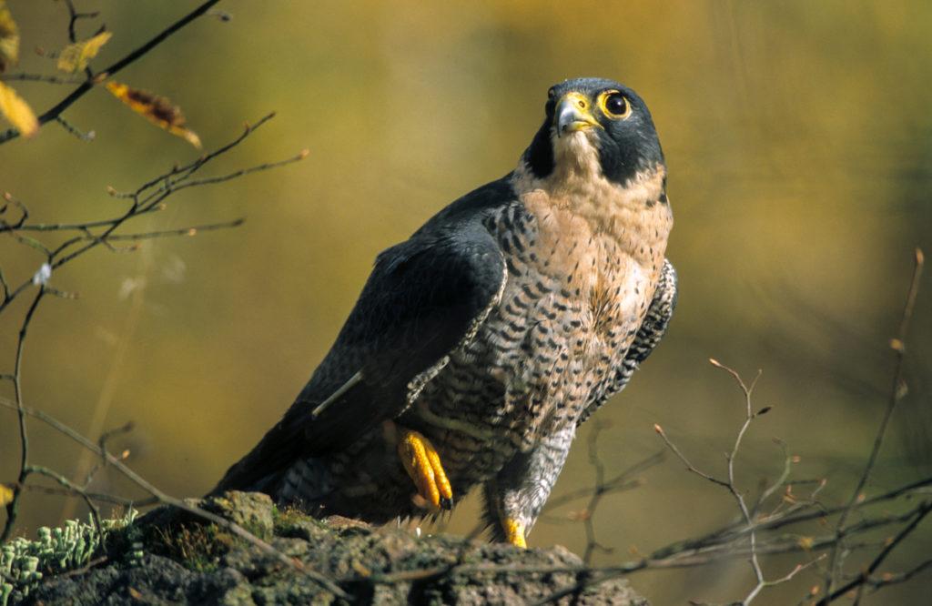 Falco peregrinus; Wanderfalke; greifvögel; pröhl