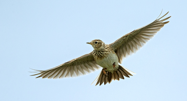Alauda arvensis; Feldlerche; Skylark; birds; flight; flug; passeri; pröhl; singvögel; songbirds; vögel