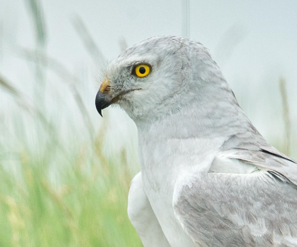 Accipitriformes, birds, Circus macrourus, flight,   greifvögel, Kasachstan, Kazakhstan, male, männchen, Pallid Harrier, pröhl, raptors, Steppenweihe, vögel