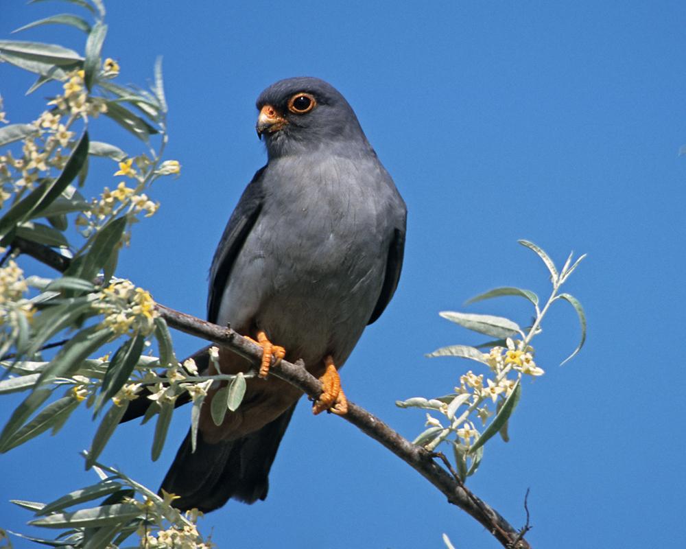 Falco vespertinus; Red-footed Falcon; Rotfußfalke; birds; falconiformes; greifvögel; male; männchen; pröhl; raptors; vögel