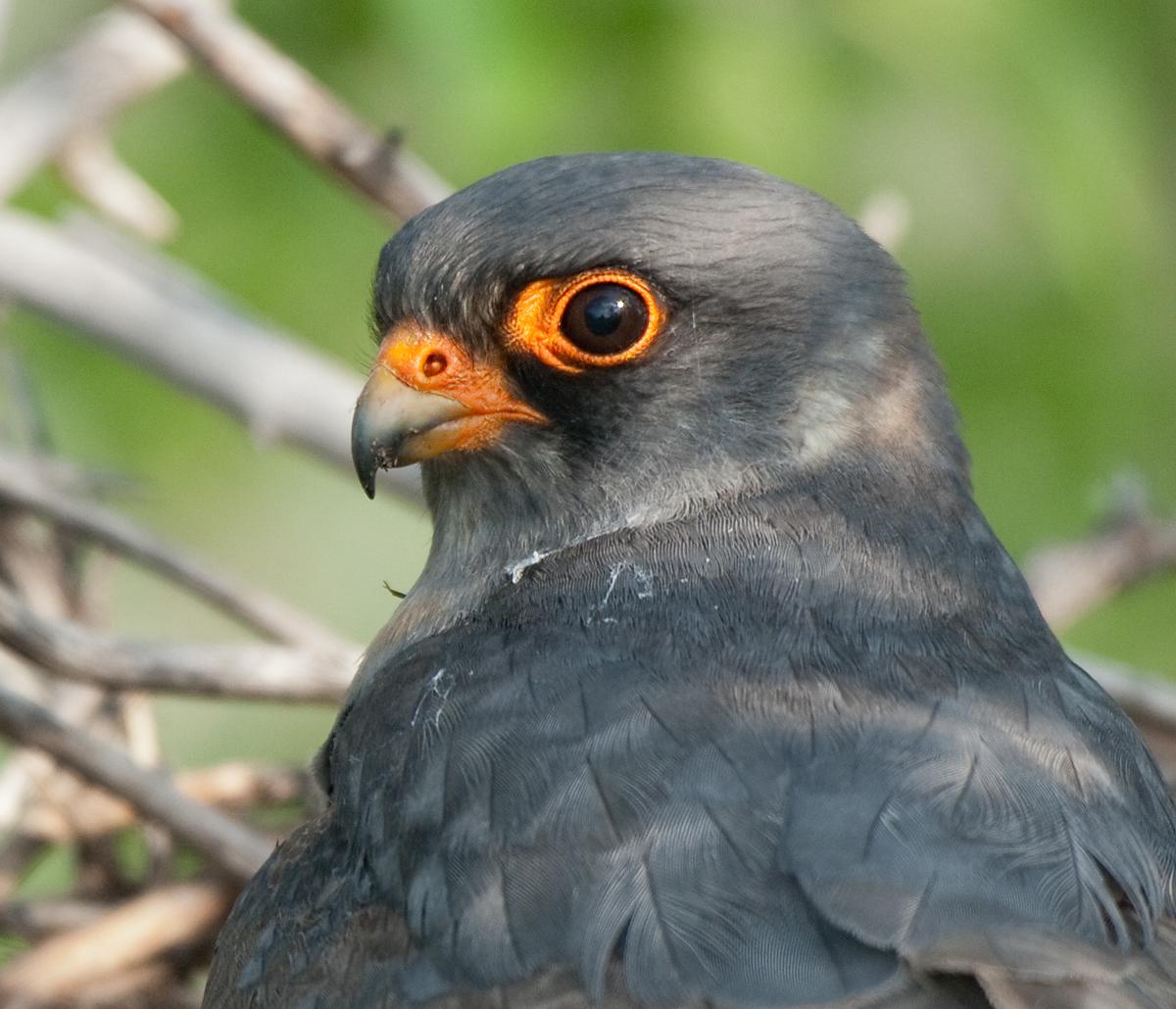 Falco vespertinus; Rotfußfalke; greifvögel; männchen; pröhl; ungarn