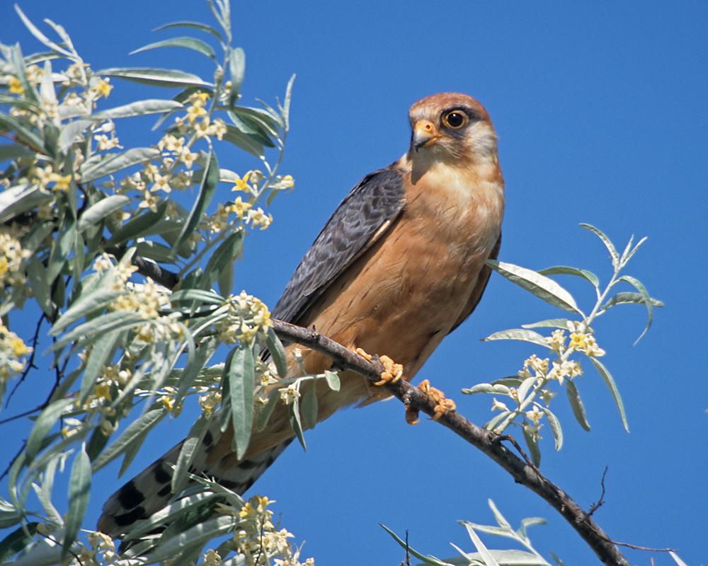 Falco vespertinus; Red-footed Falcon; Rotfußfalke; birds; falconiformes; female; greifvögel; pröhl; raptors; vögel; weibchen