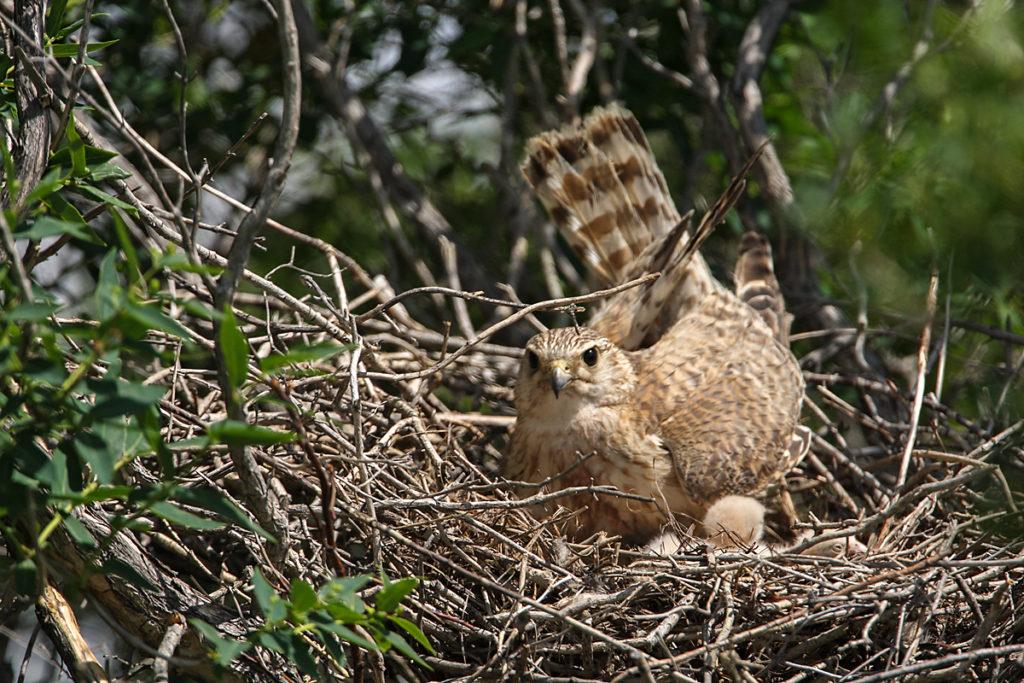 Falco columbarius; Kasachstan; Merlin; birds; breed; brut; falconiformes; female; greifvögel; horst; nest; pröhl; raptors; vögel; weibchen