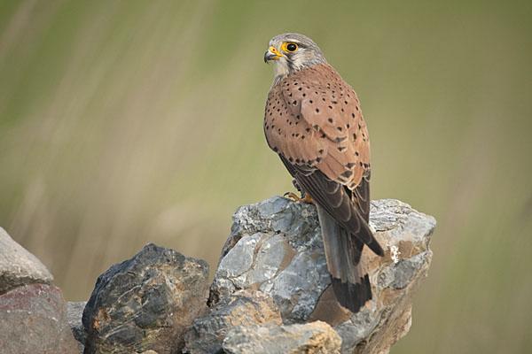 Falco tinnunculus; Kestrel; Turmfalke; birds; falconiformes; falken; greifvögel; male; männchen; pröhl; raptors; vögel