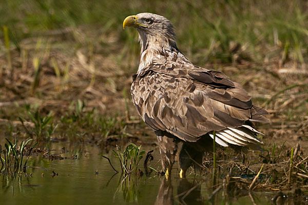 Accipitriformes; Haliaeetus albicilla; Kasachstan; Seeadler; White-tailed Eagle; adler; birds; eagle; greifvögel; pröhl; raptors; tränke; vögel; watering place