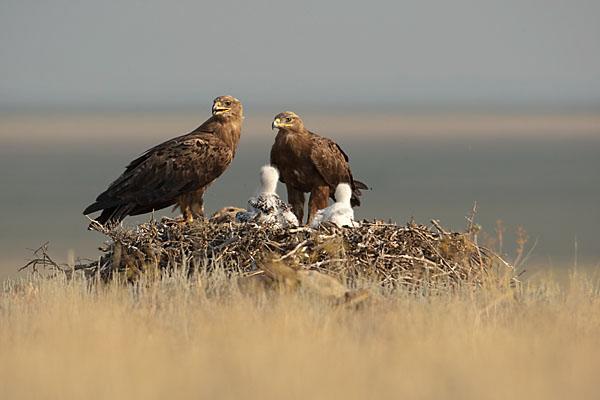 Accipitriformes; Aquila nipalensis; Kasachstan; Steppe Eagle; Steppenadler; adler; birds; breed; brut; eagle; greifvögel; horst; nest; pröhl; raptors; vöge
