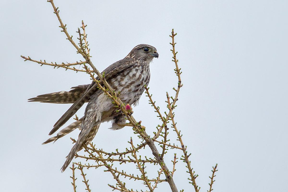 Falco columbarius; Jamal-Halbinsel; Merlin; Russland; Samojeden-Halbinsel; Sibirien; Yamal Peninsula; birds; falconiformes; female; greifvögel; pröhl; raptors; russia; vögel; weibchen