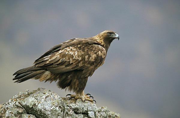 Accipitriformes; Aquila chrysaetos; Golden Eagle; Steinadler; adler; birds; bulgarien; eagle; greifvögel; pröhl; raptor; raptors; vögel