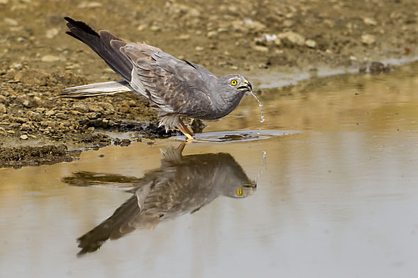 Accipitriformes; Circus pygargus; Montagu`s Harrier; Spain; Wiesenweihe; bad; bathe; birds; greifvögel; male; mirror; männchen; pröhl; raptors; spanien; spiegelbild; tränke; vögel; watering place