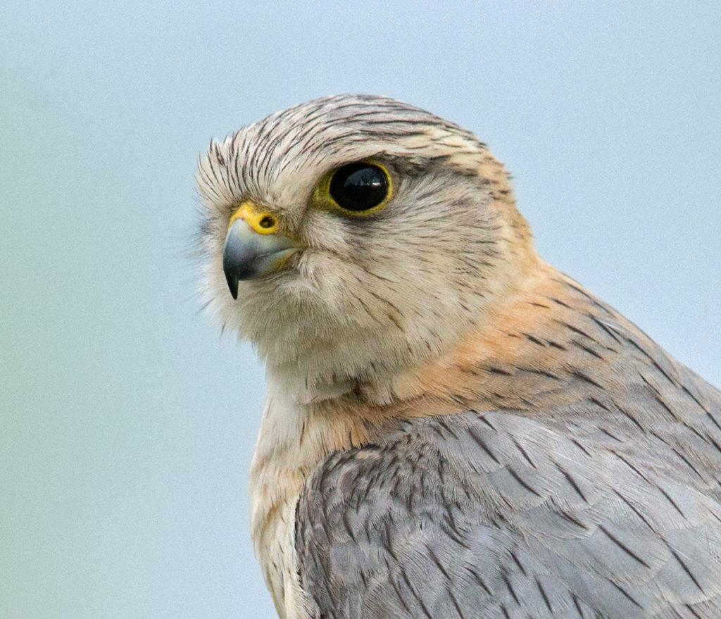 Falco columbarius; Falco columbarius pallidus; Kasachstan; Kazakhstan; Merlin; Steppenmerlin; ad.; adult; birds; falconiformes; greifvögel; male; männchen; pröhl; raptors; vögel