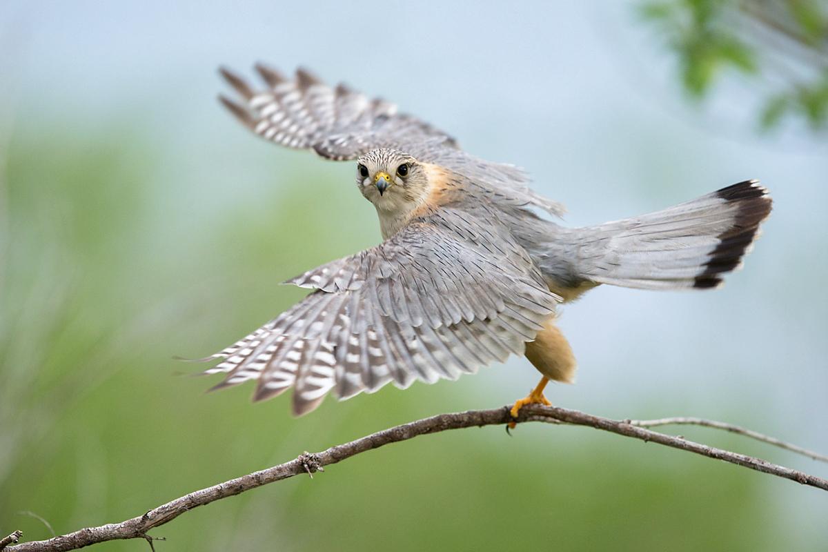 Falco columbarius; Falco columbarius pallidus; Kasachstan; Kazakhstan; Merlin; Steppenmerlin; ad.; adult; birds; falconiformes; flight; flug; greifvögel; male; männchen; pröhl; raptors; vögel