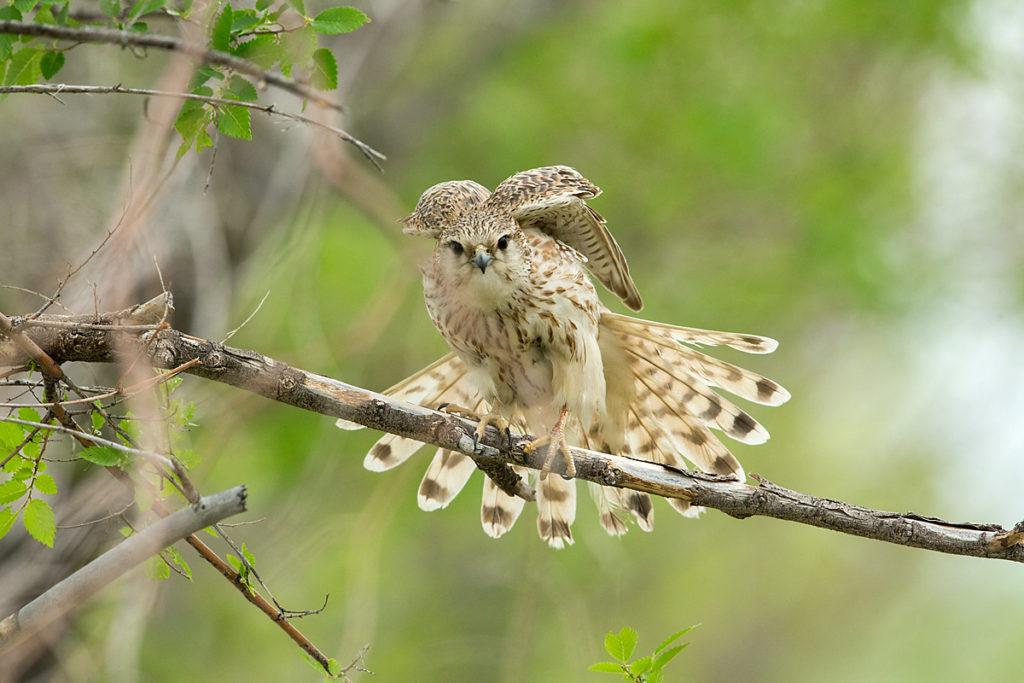 Falco columbarius; Falco columbarius pallidus; Kasachstan; Kazakhstan; Merlin; Steppenmerlin; ad.; adult; birds; falconiformes; greifvögel; pröhl; raptors; vögel
