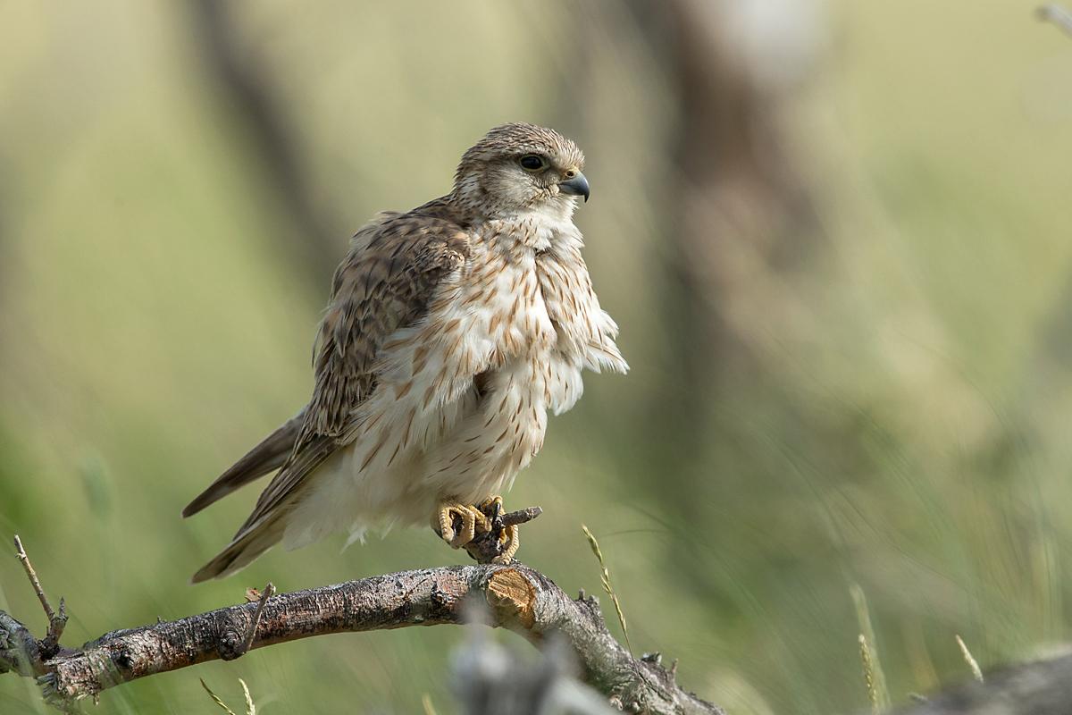 Falco columbarius; Falco columbarius pallidus; Kasachstan; Kazakhstan; Merlin; Steppenmerlin; ad.; adult; birds; falconiformes; female; greifvögel; pröhl; raptors; vögel; weibchen