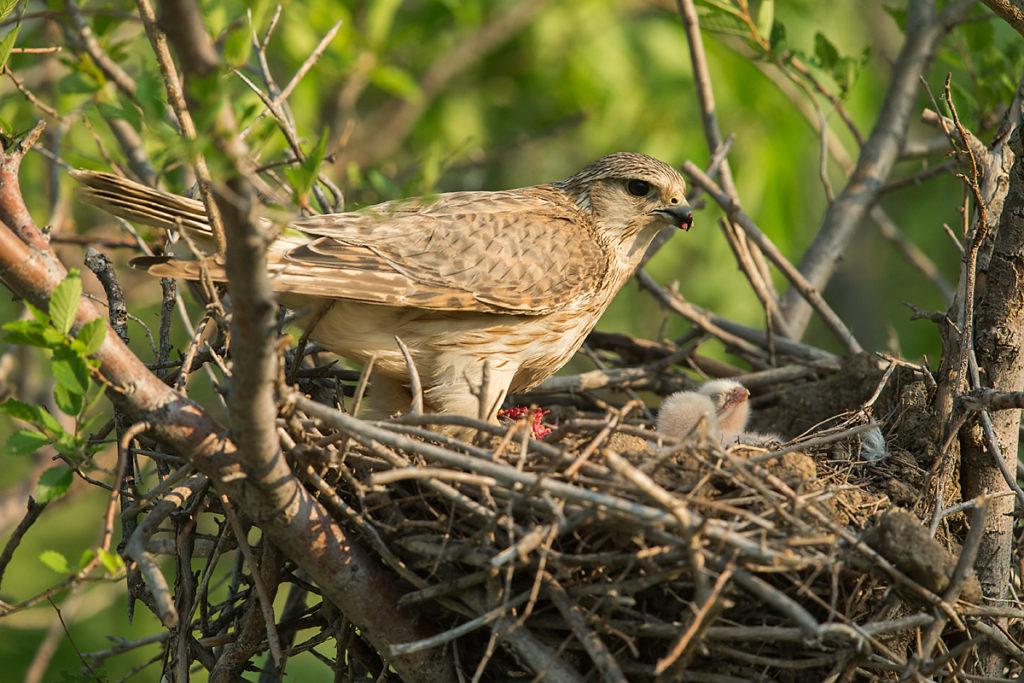 Falco columbarius; Falco columbarius pallidus; Kasachstan; Kazakhstan; Merlin; Steppenmerlin; ad.; adult; birds; breed; brut; falconiformes; female; greifvögel; horst; nest; pröhl; raptors; vögel; weibchen