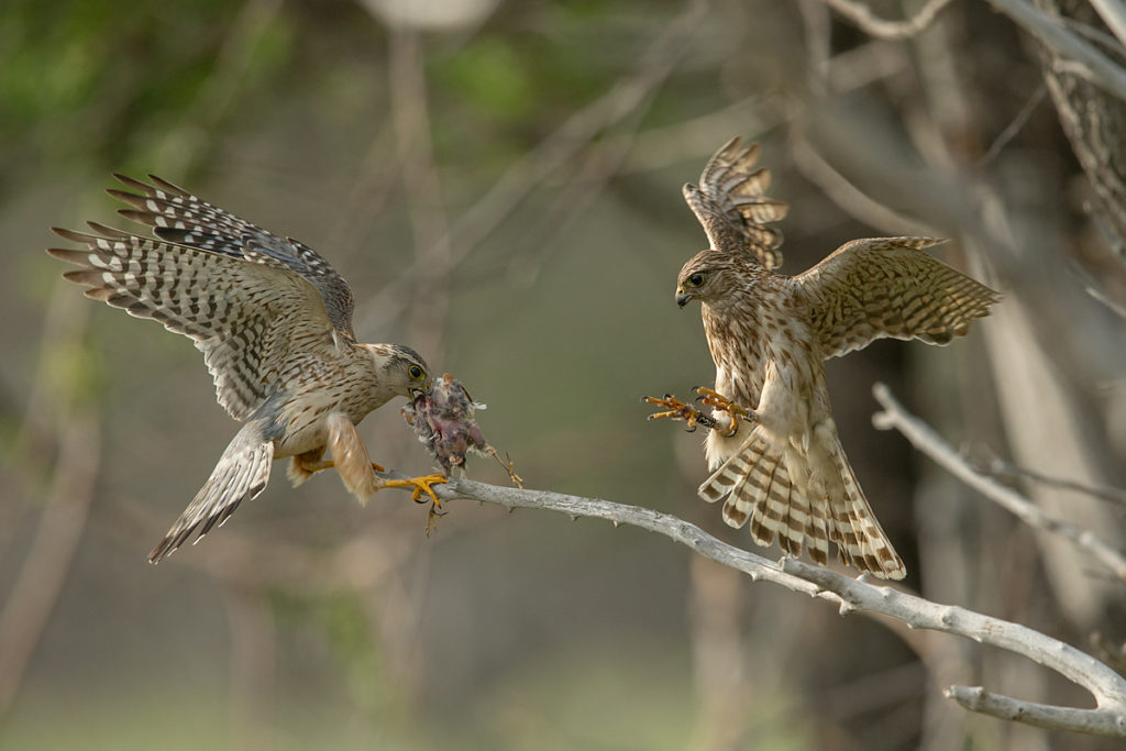 Falco columbarius; Falco columbarius pallidus; Kasachstan; Kazakhstan; Merlin; Steppenmerlin; beuteübergabe; birds; falconiformes; flight; flug; greifvögel; paar; pröhl; raptors; vögel