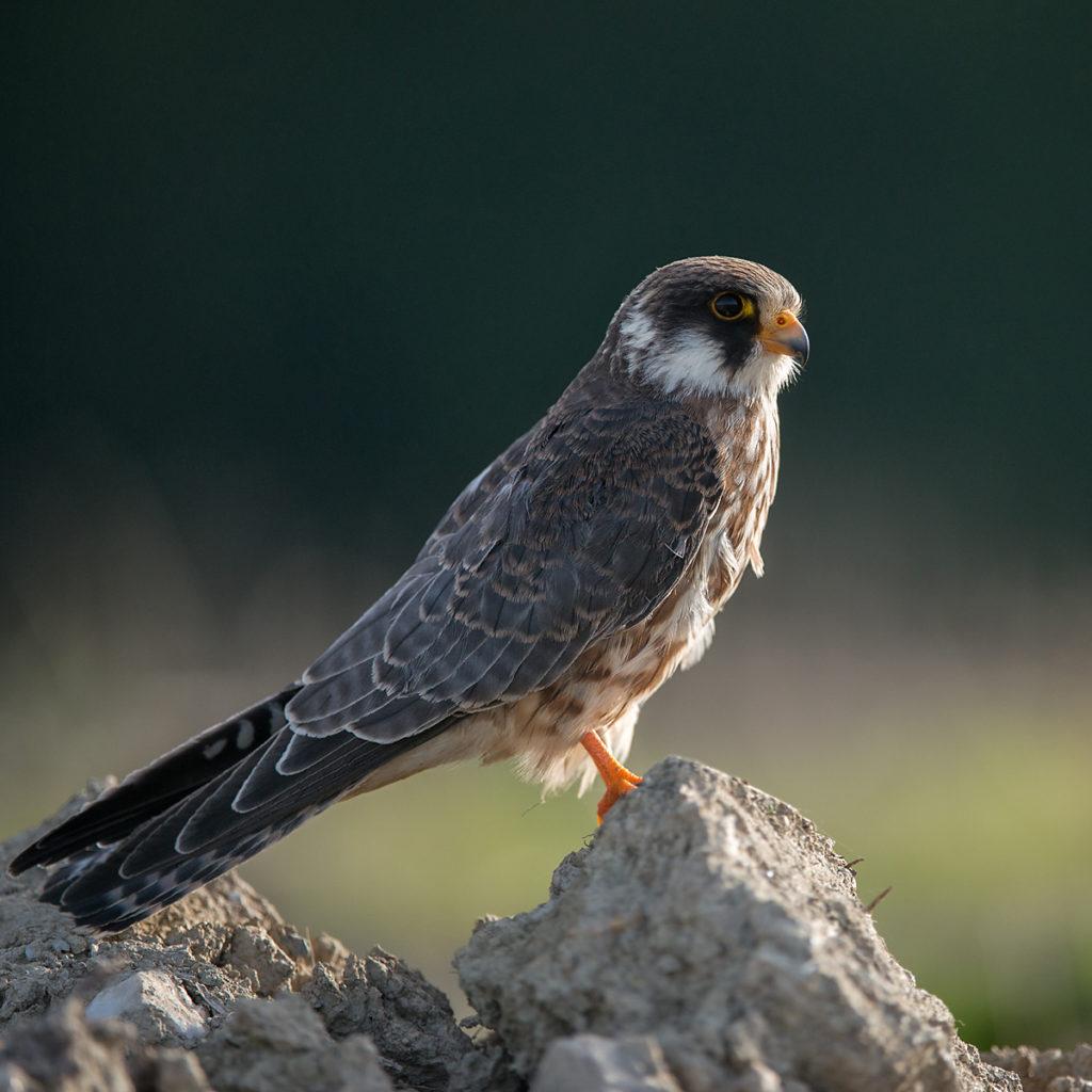 Falco vespertinus; Red-footed Falcon; Rotfußfalke; birds; falconiformes; greifvögel; raptors; vögel, leo