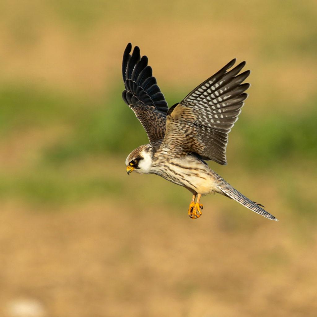 Falco vespertinus; Red-footed Falcon; Rotfußfalke; birds; falconiformes; flight; flug; greifvögel; juv.; juvenil; pröhl; raptors; vögel