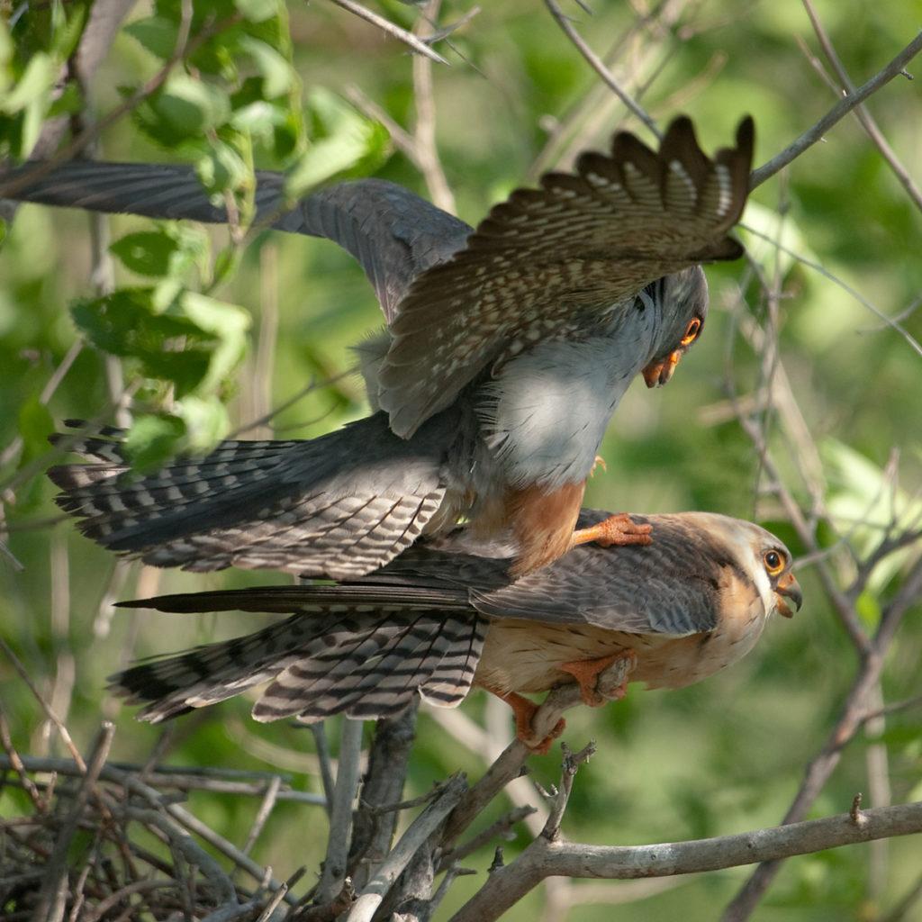 Falco vespertinus; Kasachstan; Red-footed Falcon; Rotfußfalke; birds; couple; falconiformes; greifvögel; kopula; mating; paar; paarung; pröhl; raptors; vögel
