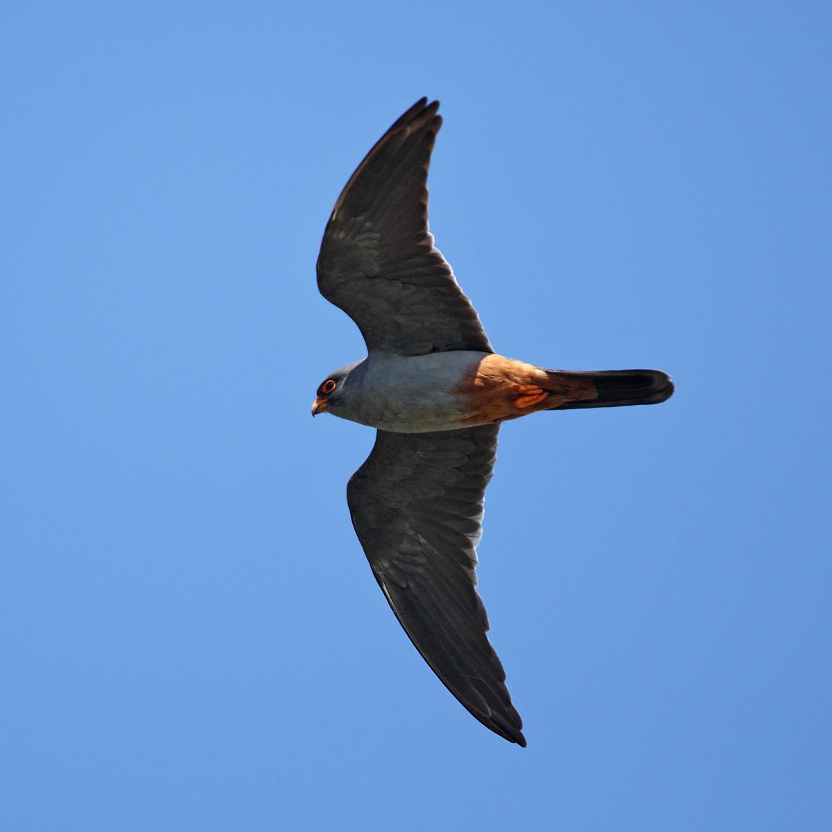 Falco vespertinus; Kasachstan; Red-footed Falcon; Rotfußfalke; birds; falconiformes; flight; flug; greifvögel; male; männchen; pröhl; raptors; vögel