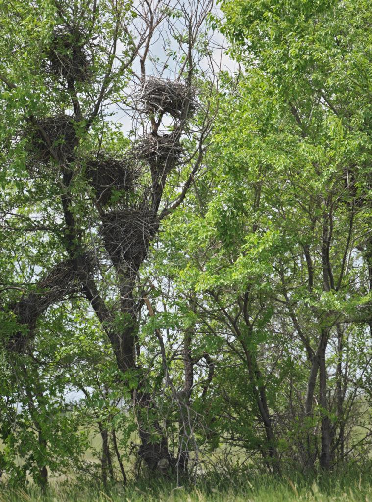 Falco vespertinus; Kasachstan; Red-footed Falcon; Rotfußfalke; birds; falconiformes; greifvögel; high size; hochformat; horst; nest; pröhl; raptors; vögel