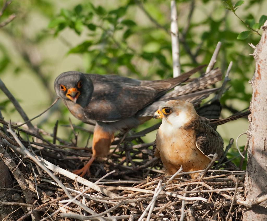 Falco vespertinus; Kasachstan; Red-footed Falcon; Rotfußfalke; birds; breed; brut; falconiformes; greifvögel; horst; nest; paar; pröhl; raptors; vögel