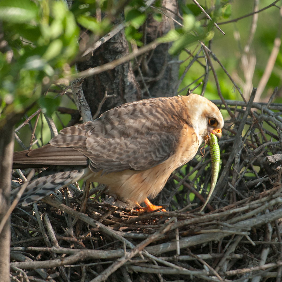 Falco vespertinus; Kasachstan; Red-footed Falcon; Rotfußfalke; beute; birds; capture; echse; eidechse; falconiformes; female; greifvögel; hunting; jagd; kriechtiere; lizards; pröhl; raptors; reptilia; vögel; weibchen