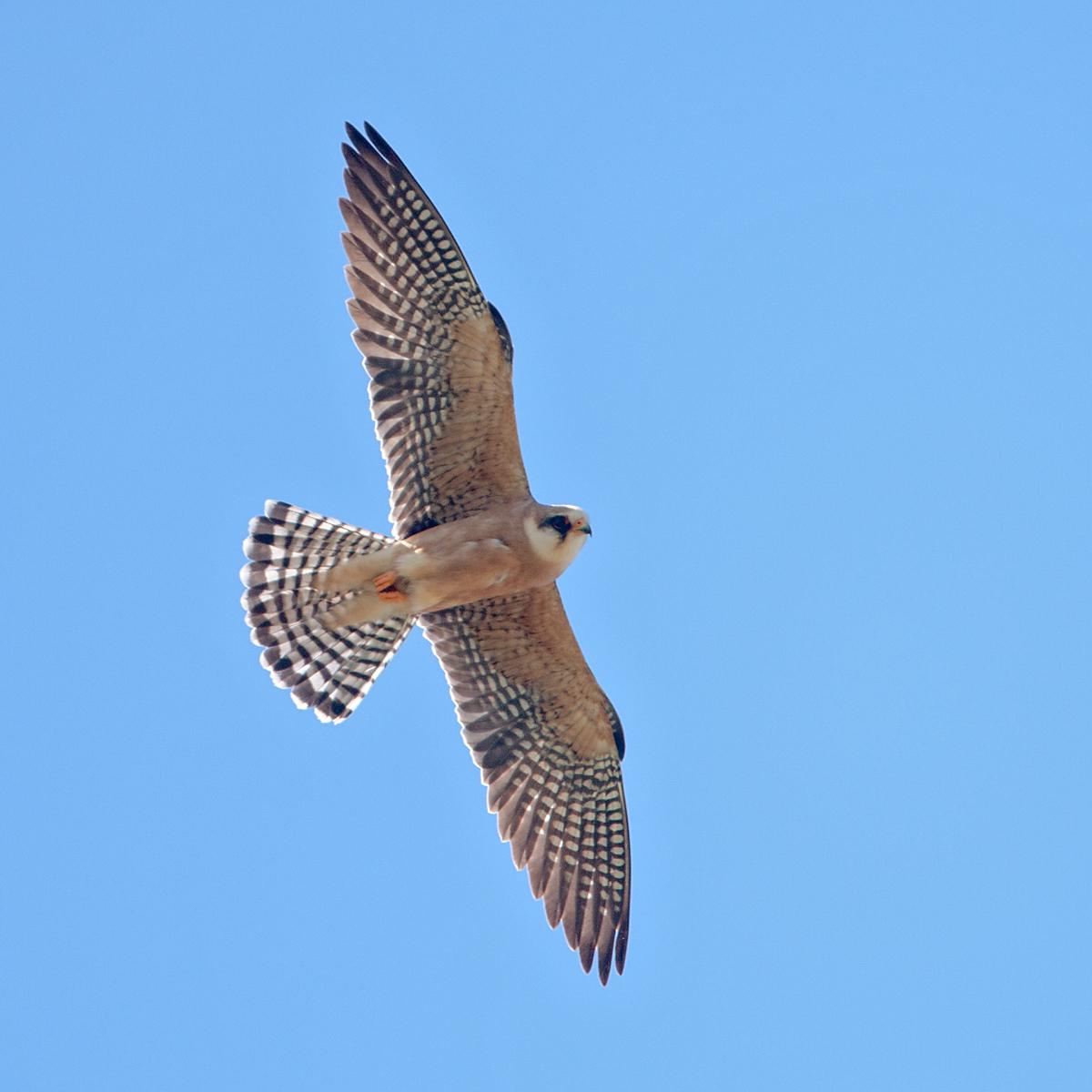 Falco vespertinus; Kasachstan; Red-footed Falcon; Rotfußfalke; birds; falconiformes; falken; female; flight; flug; greifvögel; pröhl; raptors; vögel; weibchen