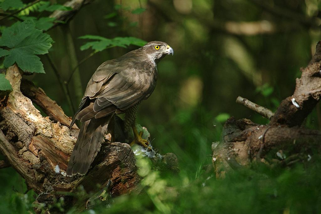 Accipiter gentilis; Goshawk; Habicht; beute; birds; capture; falconiformes; greifvögel; hunting; jagd; pröhl; raptors; vögel