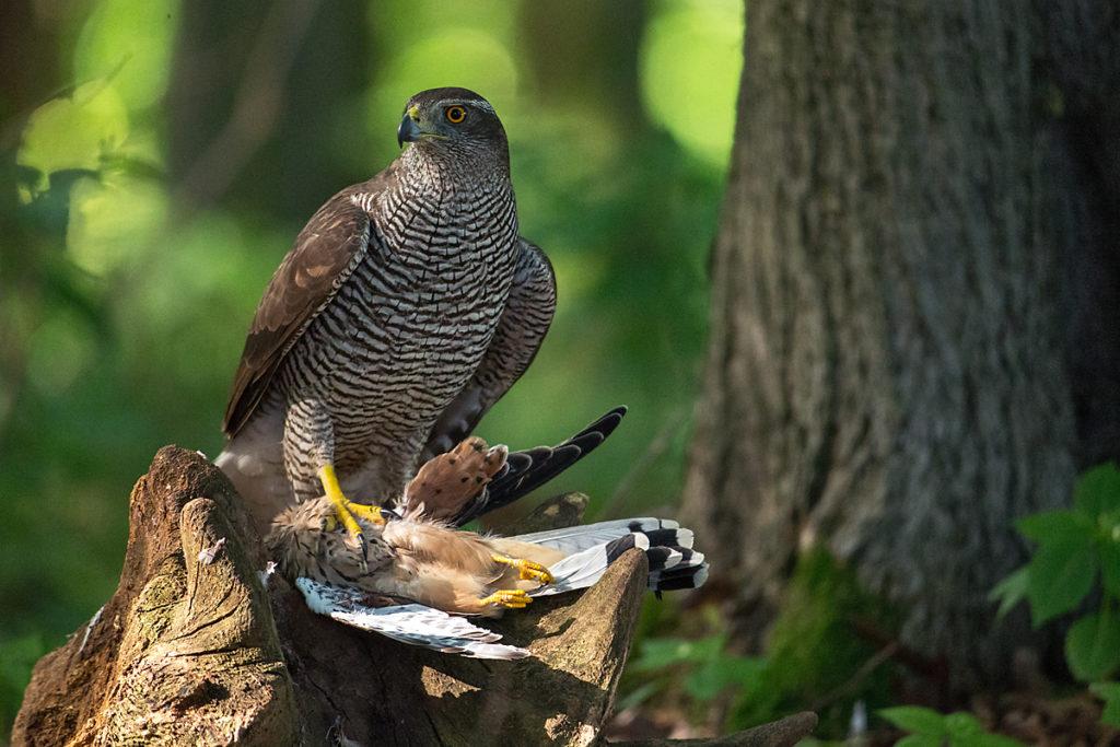 Accipiter gentilis; Accipitriformes; Falco tinnunculus; Goshawk; Habicht; Kestrel; Turmfalke; birds; falconiformes; falken; greifvögel; pröhl; raptors; vögel